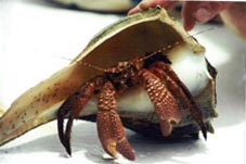 Hermit Crabs Shell Island