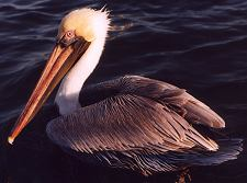 Brown pelicans on our dolphin tour Florida